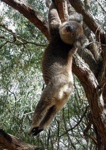 Lazy Koala by Rehana Ford