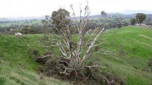 The same tree after removal of all mistletoe