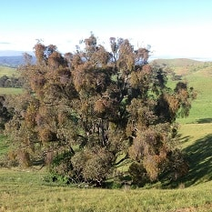 Paddock Tree before treatment - 80% coverage of mistletoe