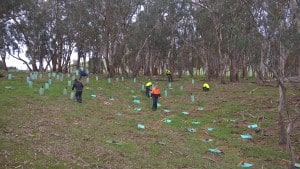 Planting understorey on a farm in Yea.