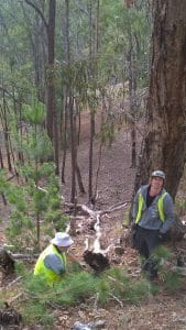 CVA removing pine saplings.