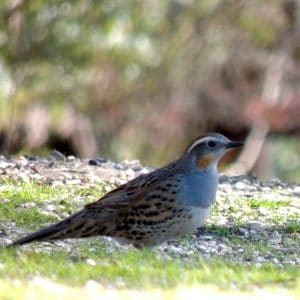 Spotted Quail-thrush on Old Spring Valley Rd.
