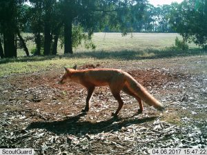 Fox monitoring