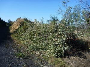 A large pile of cotoneaster removed from the rail trail