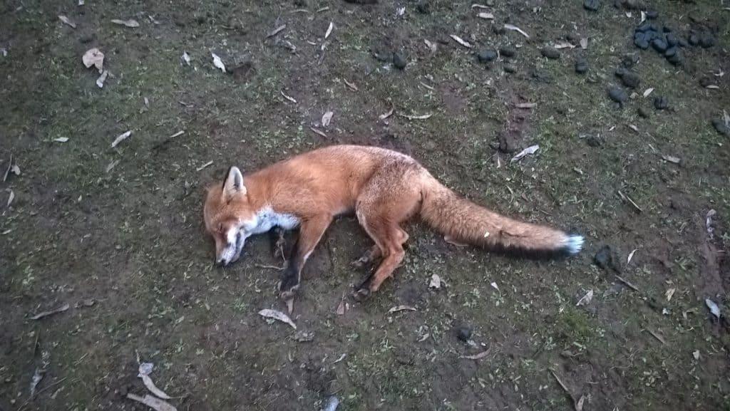 1080 baited fox1