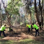 Removing Honeysuckle from along the Yea River