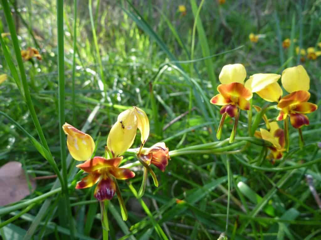 Donkey Orchid 2