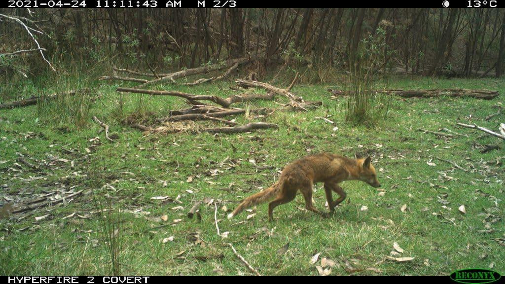 King Parrot Catchment Fox Control Project